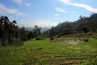 Grüner Reisteppich