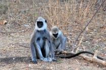 Ureinwohner: Hanuman Languren
