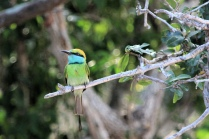 Green Bee Eater (Smaragdspint)