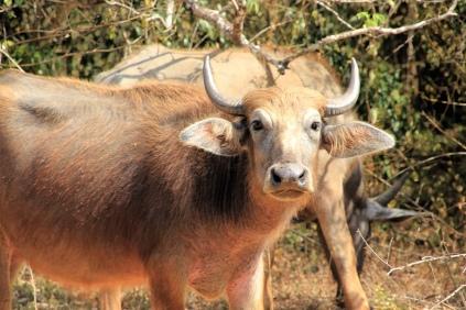 Fotogener Büffel