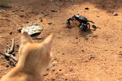 Ring frei für Cool Cat vs King Crab