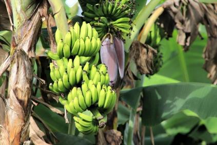 Ökologisch korrekte Bananen auf der Finca Agroecologica