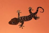 Unser Hausgecko