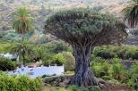Der berühmte Drachenbaum