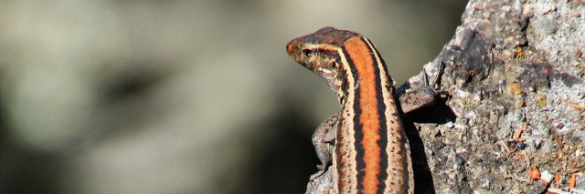 img_7184_lizard2_pano