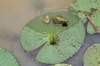 Froschplatte