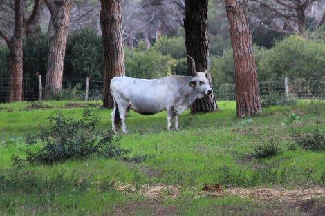 Endlich gefunden: Ein Maremma Rind